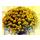 chrysantheme.png